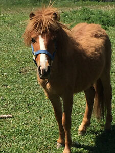 yearling miniature gelding