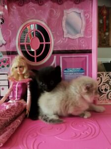 I have Beautiful Ragdoll Kittens available to a new home