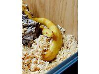 Corn snake for sale :)