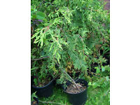 Thuja plants - over 50 (1m/1.2m and taller) plants!