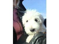 Beautiful Maltese puppy boy