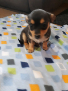 Chihuahua and teacup mix puppies