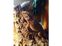 Bearded dragon and vivarium
