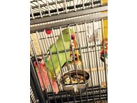 Beautiful 4 months old green indian ringneck With small cage for sale £170