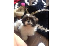 BEAUTIFUL SHIH-TZU PUPPY FOR RELUCTANT SALE DUE TO TIMEWASTERS