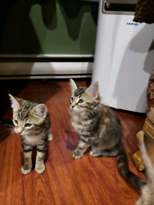 Part Bengal Kittens to Good Homes!