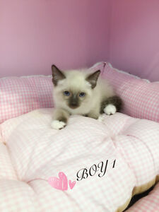 Beautiful Siamese X Regdoll kittens for sale