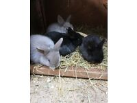 Netherland Dwarf bunnies ready to be re-homed