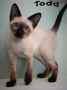 Seal Point Siamese Brothers