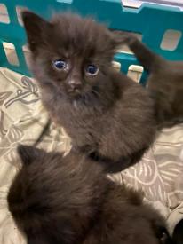 4 half british shorthair kitten