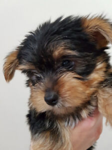 Toy Size Purebred Yorkie puppies