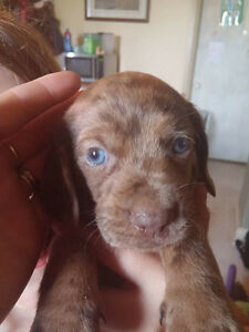 Mini Dachshund  Last Puppy (Male)