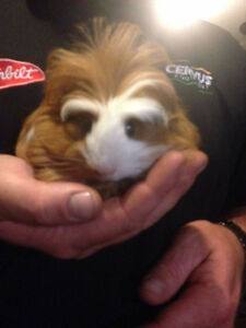 2 Beautiful Guinea pigs needing forever home