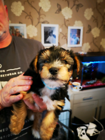 Pure breed yorkshire terrier puppies