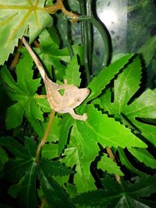 Crested Gecko Summer Sale
