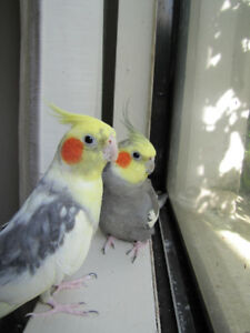 Two Male Cockatiels for Adoption
