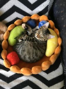 Bengal x DSH kitten - 12 weeks old - Male