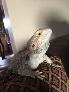 Bearded Dragon with everything for sale