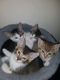 4 beautiful kittens for forever homes only