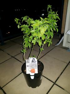 Carolina Reaper Chilli Plant for sale . The hottest chilli