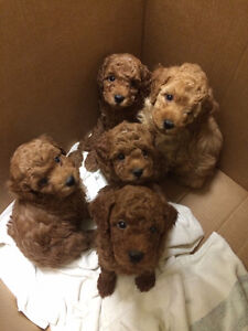 Poodle puppies ready for new homes London Ontario image 1