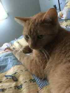 Sparkle Berry - Lost Male Cat - Orange Tabby Shorthair
