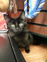 Rosie - rescued med hair black female kitten for adoption