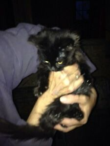 Black, 3/4 ragdoll kittens