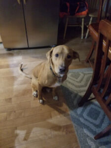 Two year old Red Lab/Pinscher to rehome