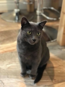 FOUND BLUE RUSSIAN CAT BARRIE