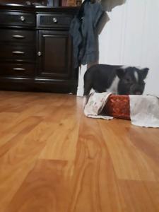pot belly mini cochon