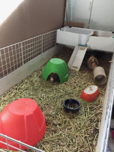 3 Female Guinea Pigs with Cage and Accessories