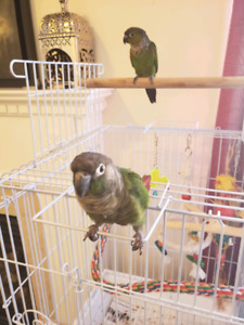 Two 7 month old conures, green cheek and black cap