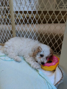 3 month old toy poodle puppy for sale!