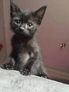 AK1768 : Bear - KITTEN FOR ADOPTION - Expressions Of Interest Joondalup Joondalup Area Preview