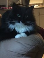 LOST Cat in Springwater Place, New Maryland