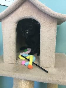 "Short haired black cat ""Luna"" London Ontario image 6"