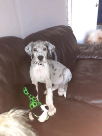 12 week old great dane for sale