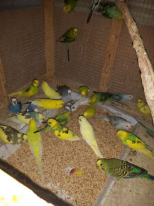 BUDGIES REHOMING
