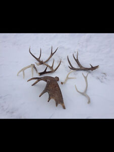 Shed Antlers Buy Amp Sell Items Tickets Or Tech In