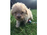Gorgeous apricot boy pure toy poodle