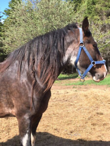 Clydesdale mare for sale