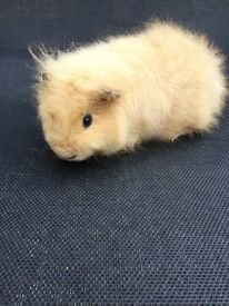 Swiss Male Guineapigs for sale