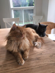 Nik and Blue - 2 Young Adult Male Cats Looking For a Loving Home