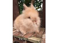 Beautiful baby Lionhead boy