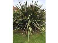Huge phormium free to collector