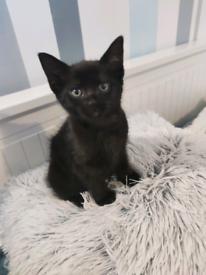 Kittens/ only black male left