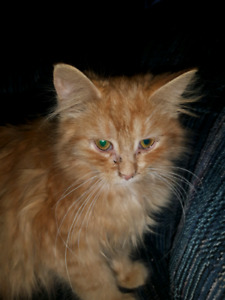 "Persian kitten ""rusty  5 months old"