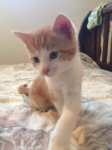 Two Handsome Orange and White Tabby Kittens To Good Home ONLY