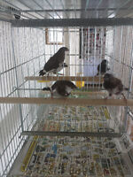 Society finches for Sale